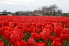 Красные тюльпаны на солнечном поле весной Стоковая Фотография