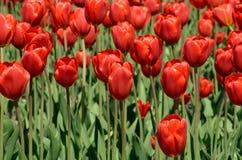 Красные тюльпаны на flowerbed Стоковые Фотографии RF