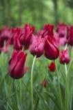 Красные тюльпаны полагаясь к одину другого Стоковая Фотография RF
