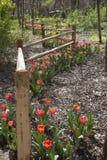 Красные тюльпаны растя вокруг деревянной загородки стоковое изображение rf