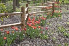 Красные тюльпаны растя вокруг деревянной предпосылки загородки стоковое изображение