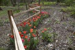 Красные тюльпаны растя вокруг загородки кривой деревянной стоковое фото rf