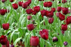 Красные тюльпаны сад Стоковое Изображение RF