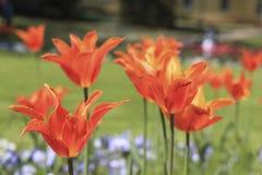 Красные тюльпаны среди голубых pansies Стоковые Фотографии RF