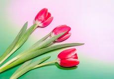 Красные тюльпаны цветут, зеленый цвет для того чтобы украсить дырочками предпосылку градиента, конец вверх Стоковое Изображение RF