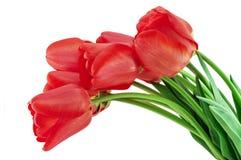 Красные тюльпаны Стоковые Изображения