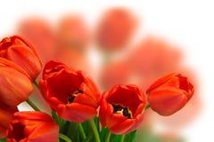 Красные тюльпаны Стоковое фото RF