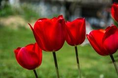 Красные тюльпаны Стоковое Фото