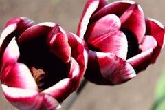 Красные тюльпаны Стоковое Изображение RF