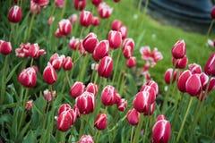 Красные тюльпаны Стоковое Изображение