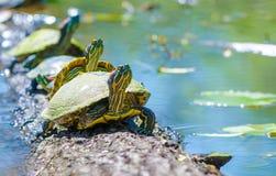 Красные ушастые черепахи сидя на журнале стоковые фотографии rf