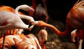 Красные фламинго в колонии Стоковые Фото