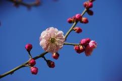 Красные цветения сливы Стоковые Фотографии RF