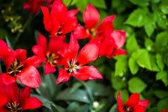 Красные цветеня и зеленый конец-вверх листьев Стоковые Изображения RF
