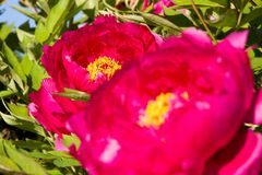 Красные цветеня пиона Стоковое Фото