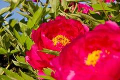 Красные цветеня пиона Стоковая Фотография