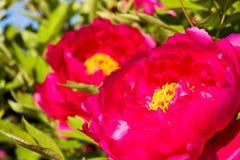 Красные цветеня пиона Стоковое Изображение