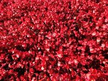 Красные цветки бегонии в цветени Стоковое фото RF