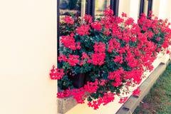 Красные цветки в коробках на windowsill стоковые изображения rf