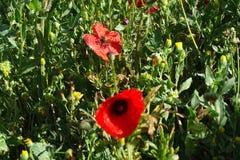 Красные цветки в поле Стоковое фото RF