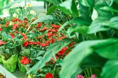Красные цветки в цветочном магазине Стоковое фото RF