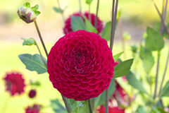 Красные цветки георгина Стоковые Фотографии RF