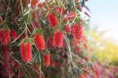 Красные цветки дерева щетки бутылки (Callistemon) Стоковые Изображения RF