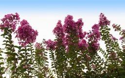 Красные цветки дерева Callistemon щетки бутылки Стоковая Фотография