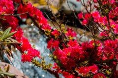 Красные цветки зацветая на кусте в японских садах водопадом на садах Frederik Meijer стоковые изображения