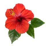 Красные цветки и бутоны гибискуса Стоковые Изображения RF