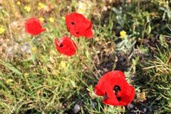 Красные цветки мака весной стоковое изображение rf