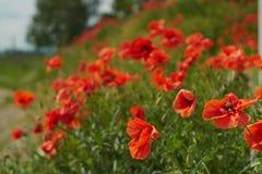 Красные цветки мака Цветки мака в близко Баварии Германии - Mohnblumen Мюнхена стоковые фото