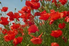 Красные цветки мака Цветки мака в близко Баварии Германии - Mohnblumen Мюнхена стоковые фотографии rf