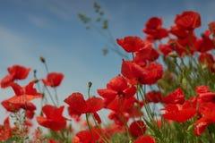 Красные цветки мака Цветки мака в близко Баварии Германии - Mohnblumen Мюнхена стоковое фото rf