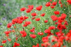 Красные цветки мака в поле Стоковая Фотография RF