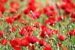 Красные цветки мака в поле Стоковое Изображение RF