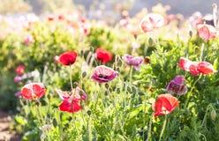 Красные цветки мака в Chiengmai Стоковое Изображение