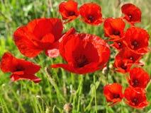 Красные цветки мака закрывают вверх в зеленой траве Стоковая Фотография