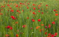 Красные цветки мака на день памяти погибших в первую и вторую мировые войны стоковое изображение rf
