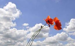Красные цветки мака против голубого неба Стоковое Фото