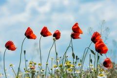 Красные цветки мака против неба Стоковая Фотография