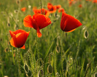Красные цветки мака Стоковые Изображения