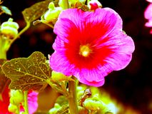 Красные цветки настурции поле глубины отмелое Стоковые Изображения RF