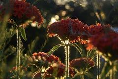 Красные цветки под солнцем вечера стоковые изображения rf