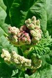 Красные цветки ревеня Стоковая Фотография RF
