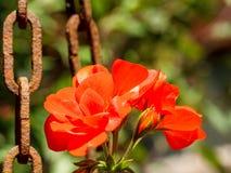 Красные цветки сада Стоковое Изображение RF