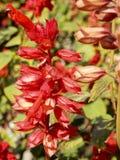 Красные цветки смертной казни через повешение в солнечности утра стоковые изображения rf