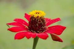 Красные цветки с кроной Стоковое Фото