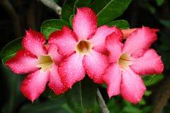 Красные цветки adenium Стоковое Изображение