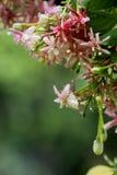 Красные цветки creeper Рангуна на зеленой предпосылке Стоковые Фото